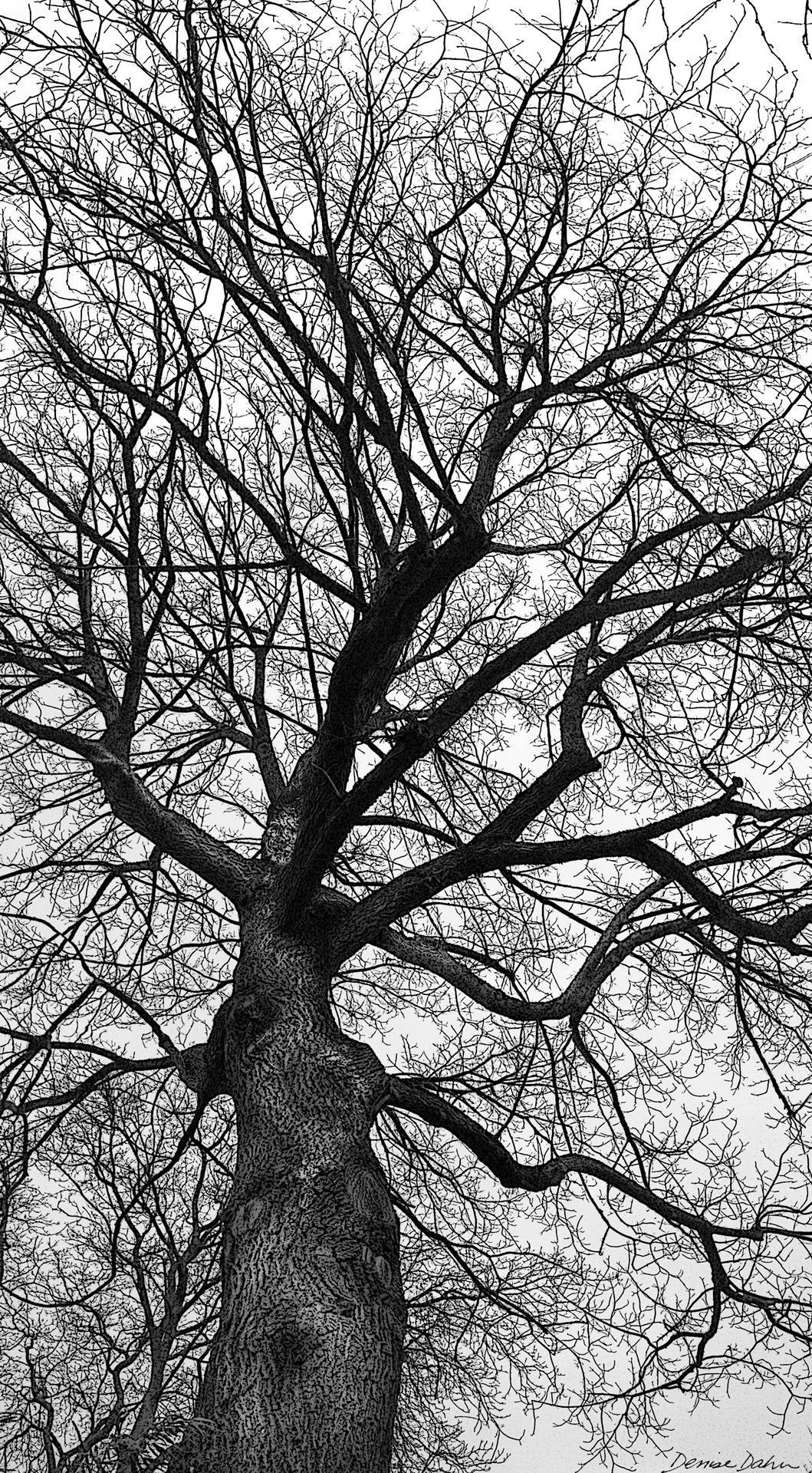 English Walnut is actually a native of Central Asia, brought to Europe by Alexander the Great. This one seems to have come with its own Dryad. When I imported this photo into Photoshop and applied a filter, I was startled at the image that emerged. I highlighted it a bit with the dodge and burn tools and voila! The tree-spirit of Walnut Avenue!