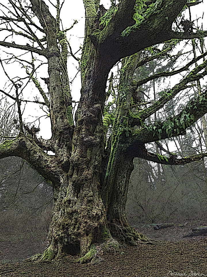 An ancient Bigleaf Maple.